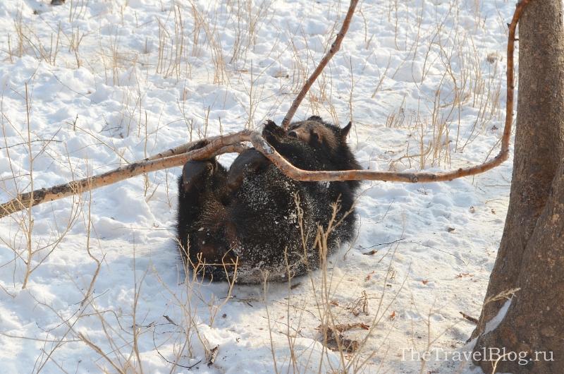 Гималайский медвежонок, ему всего 1 год, но держаться от них все-равно лучше подальше)