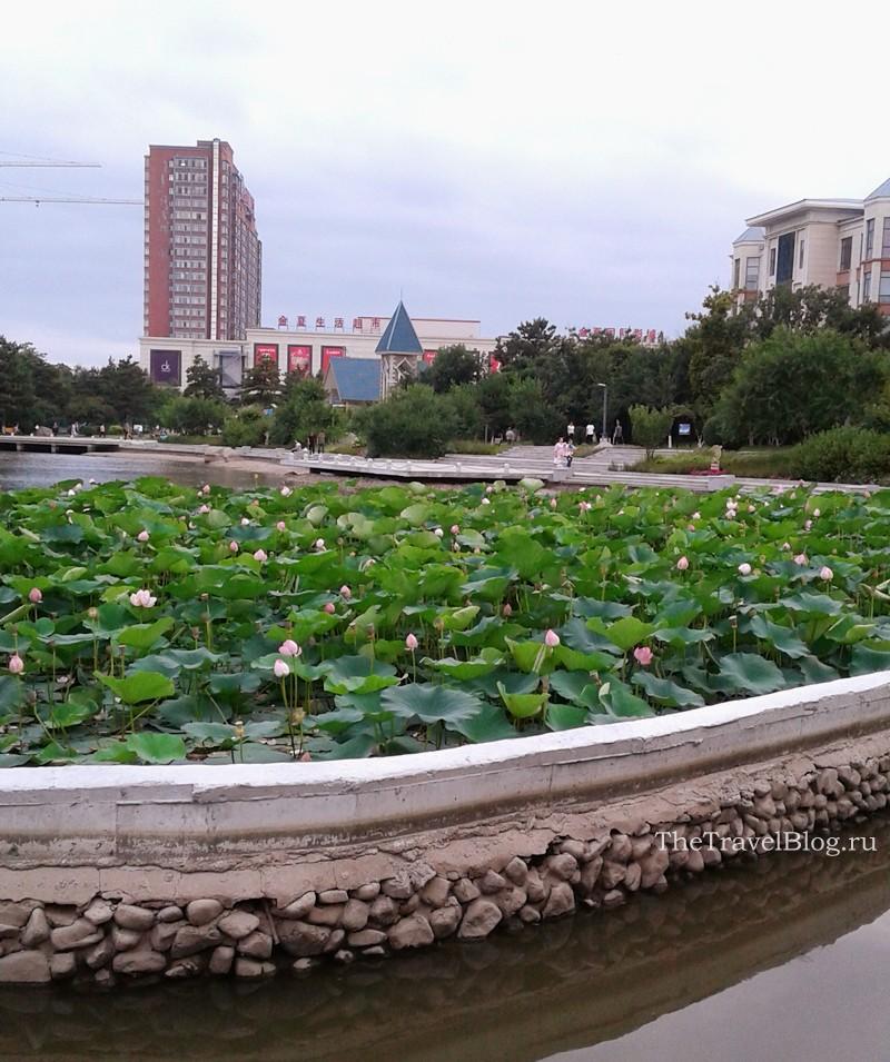 В парке цветут лотосы