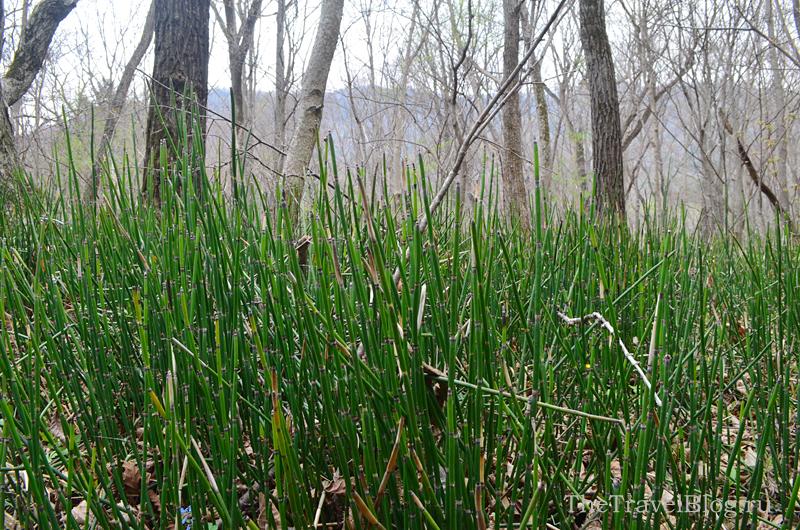 трава, похожая на бамбук