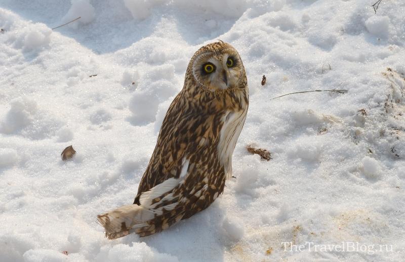 Болотная сова. Ее нашли с подбитым крылом и принести в сафари-парк.