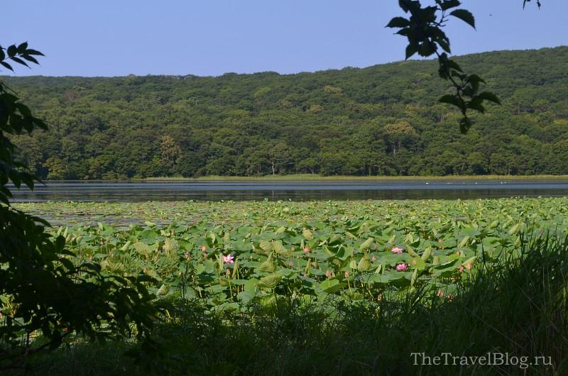 озеро с цветущими лотосами
